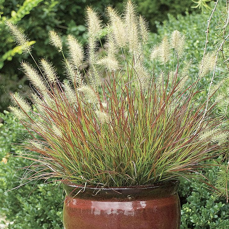 Ornamental Grasses In Containers Top 10 ornamental grasses for containers grasses gardens and top 10 ornamental grasses for containers workwithnaturefo