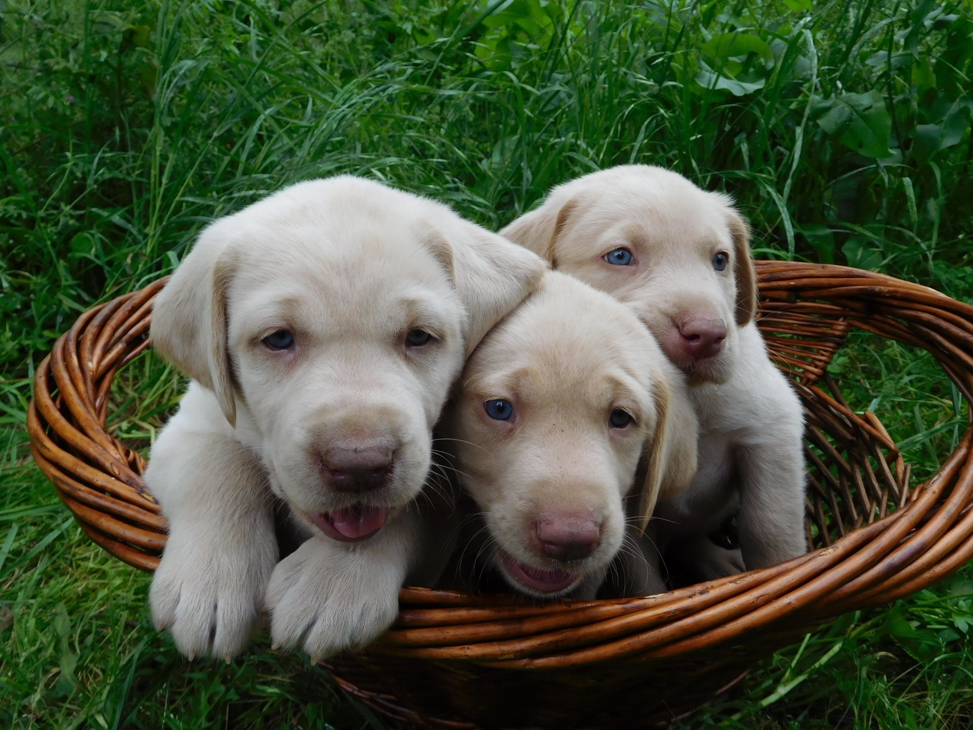 Champagne Labrador Puppies For Sale Our Lyrical Labs Texas Labrador Puppies For Sale Puppies Labrador Puppy