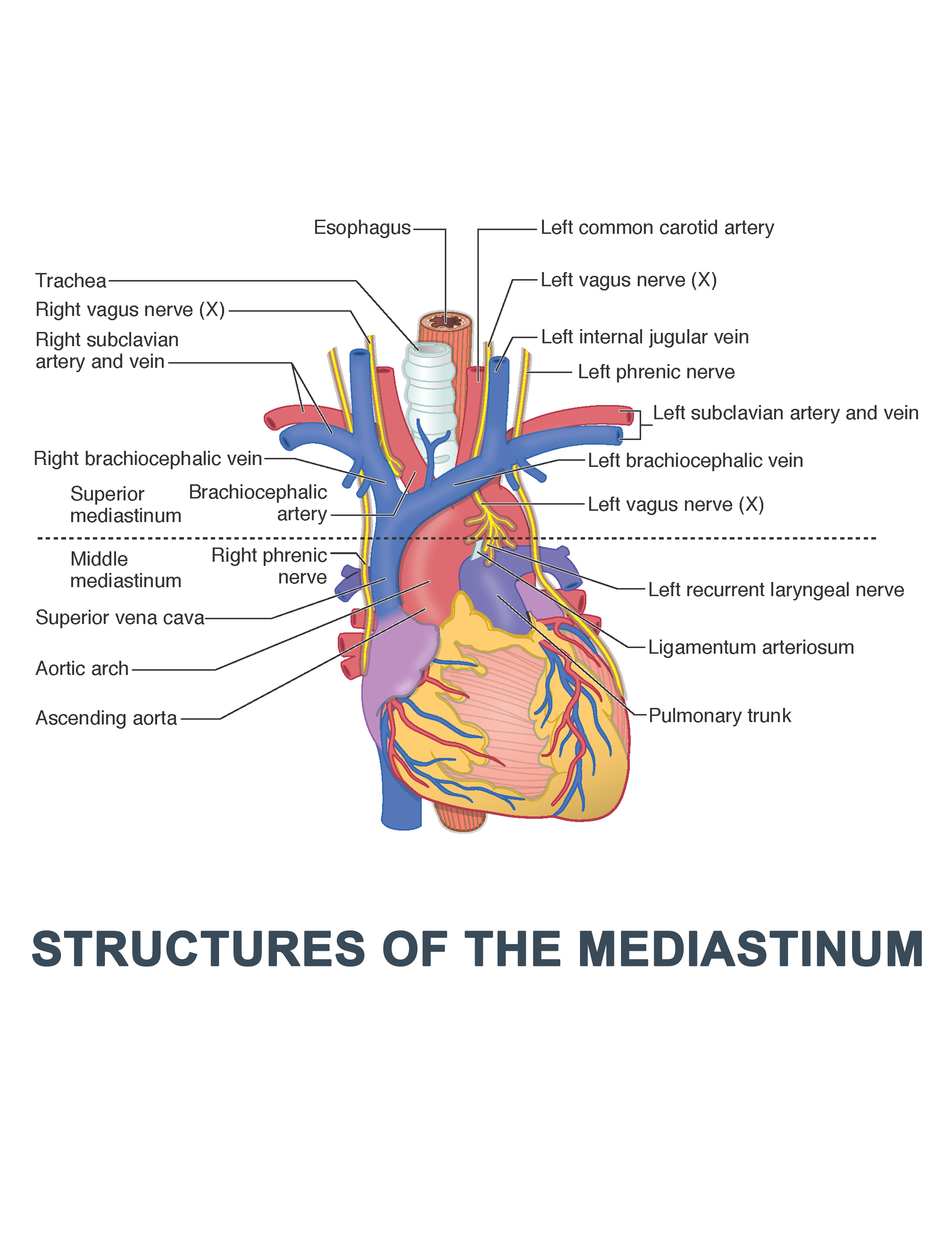 Structures Of The Mediastinum Anatomy Images Illustrations Anatomy Images Character Design Anatomy Images Ins Dental Anatomy Anatomy Inspirational Artwork