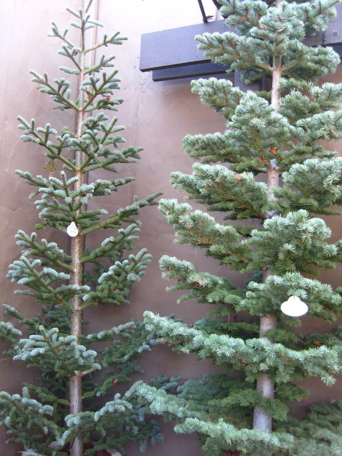 Arizona Traveler Christmas Trip To The O C Silvertip Christmas Tree Real Xmas Trees Fir Christmas Tree