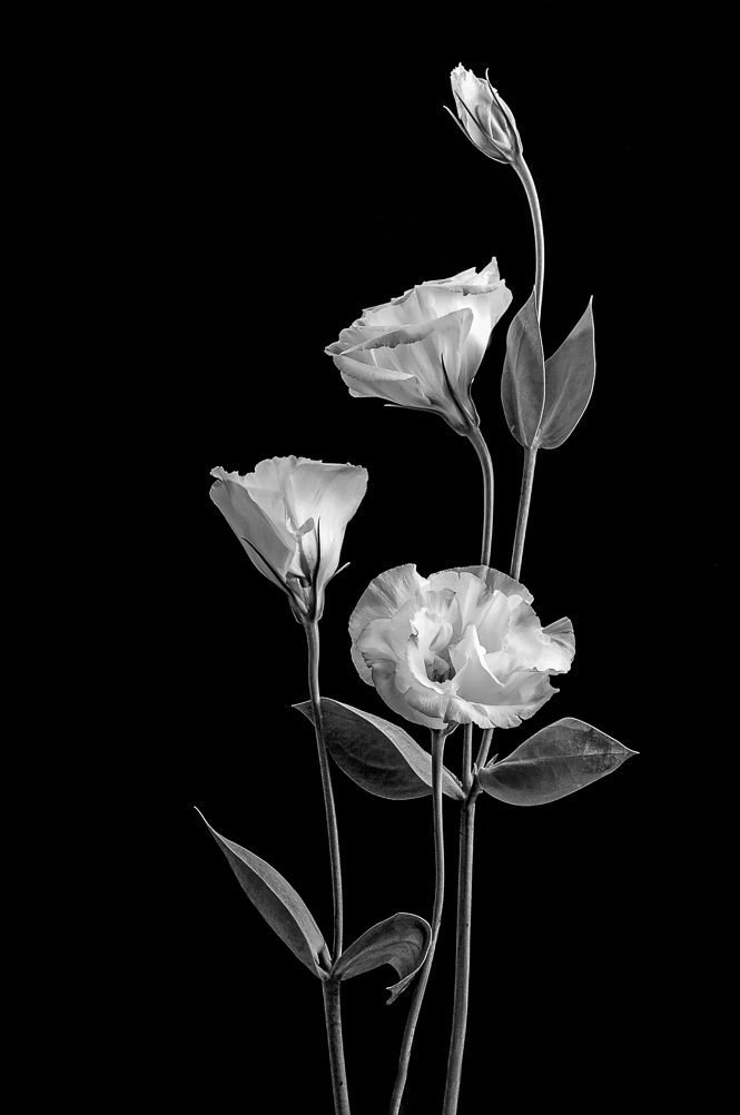 In 2021 Black And White Flowers Black And White Photo Wall White Flowers Black and white wallpaper elegant