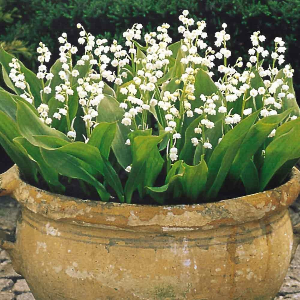 Lily of the valley in may birth flower of the month gardens lily of the valley in may birth flower of the month izmirmasajfo