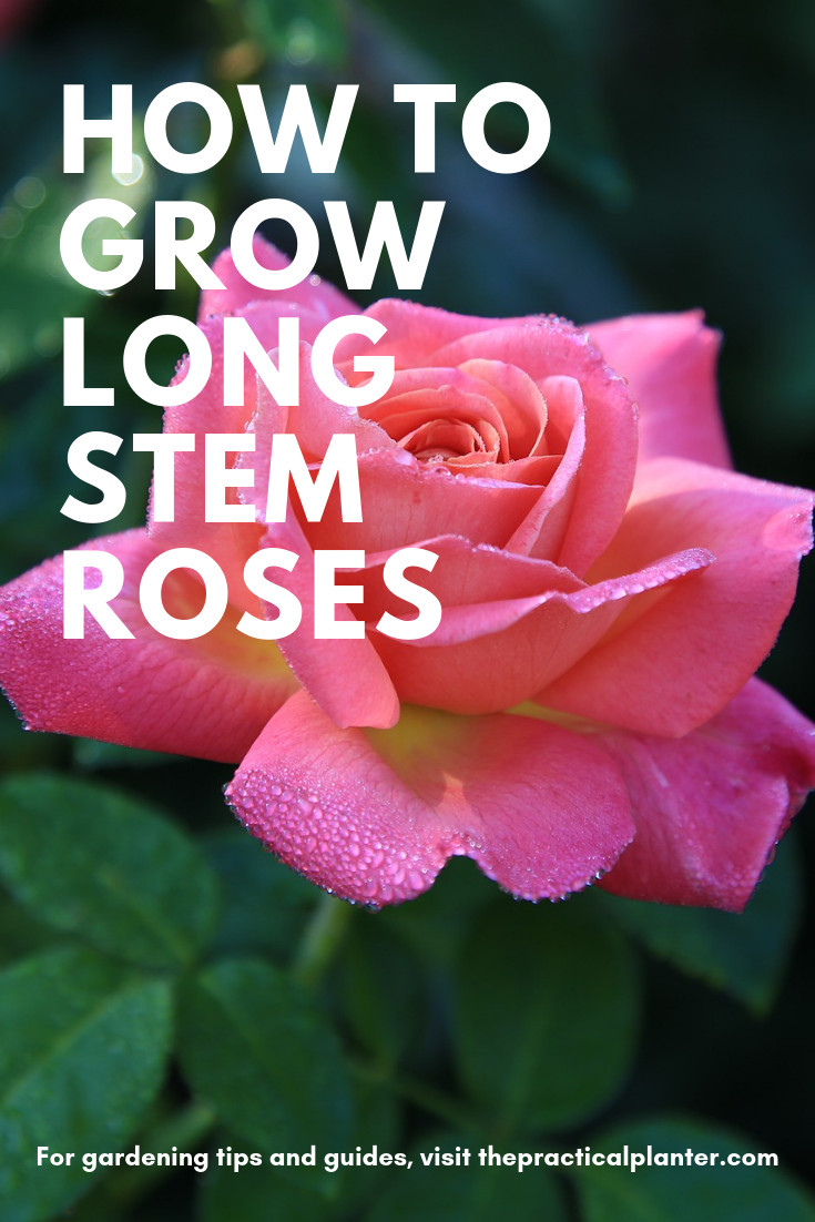 How To Grow Long Stem Roses Useful Tips For Optimal Growth Rose Growing Flowers Growing Seedlings