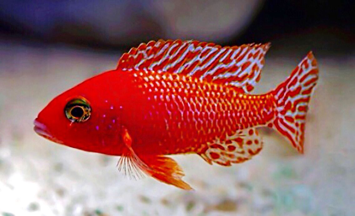 Aulonocara firefish cichlid scientific name for African cichlid fish