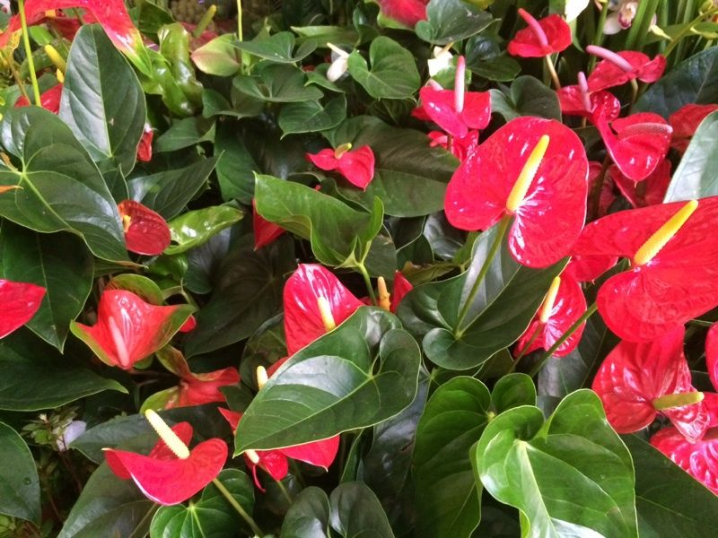Anthurium Anthurium Sp This Is A Species Of Anthurium That Grows Big Wonderful Leaves And Lovely Bracts In Pinks Reds Whit House Plants Plants Anthurium
