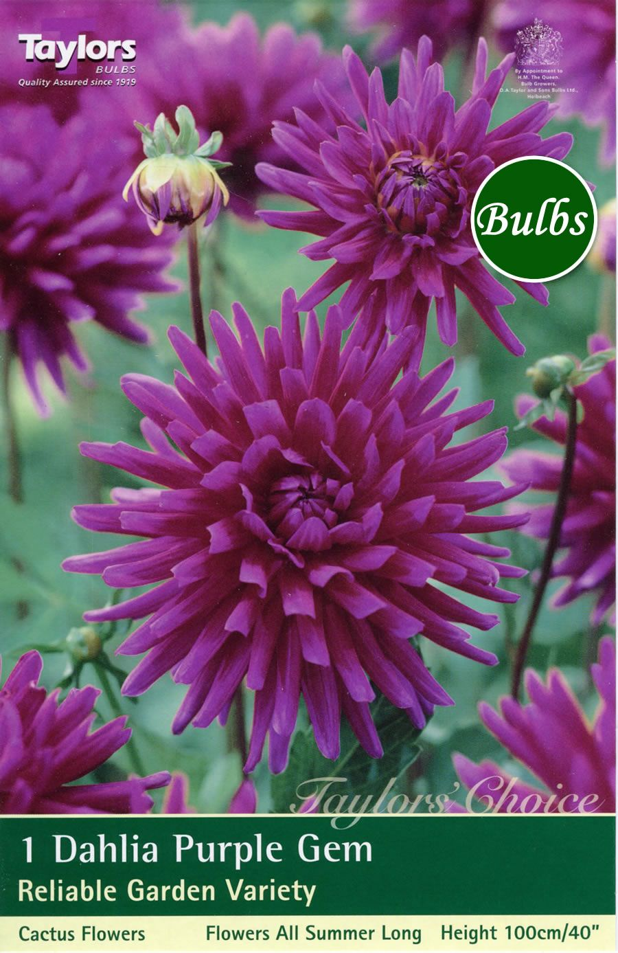 View The Purple Gem Cactus Dahlia Tuber Dahliasahhh Flowers