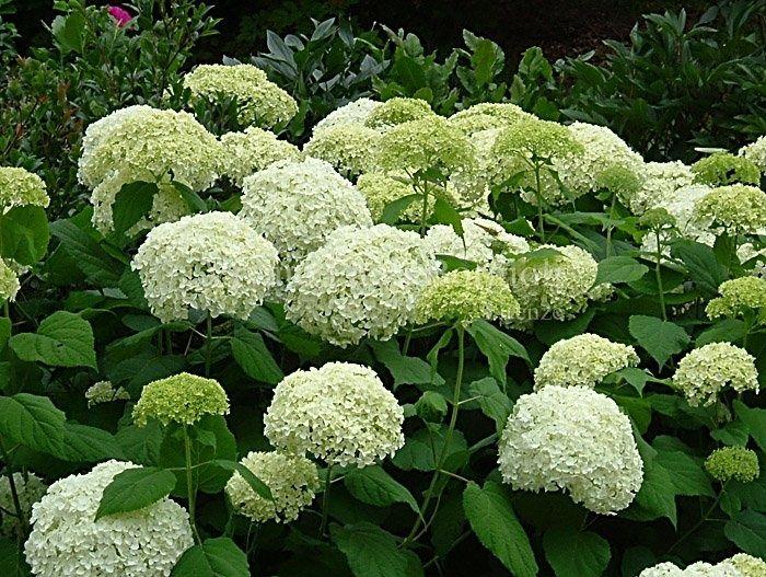 annabelle hydrangeas | hydrangea arborescens annabelle de bekende annabelle sterke hortensia ...