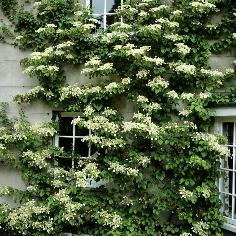 Hydrangea seemanii climbing evergreen front yard for Evergreen climbing plants for privacy