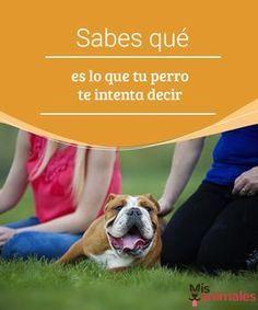 Sabes qué es lo que tu perro te intenta decir Los canes tienen diversas maneras de manifestar lo que sienten o les pasa. Te contamos algunos datos para saber qué es lo que tu perro te intenta decir. #perro #comunicación #consejos #manifestar