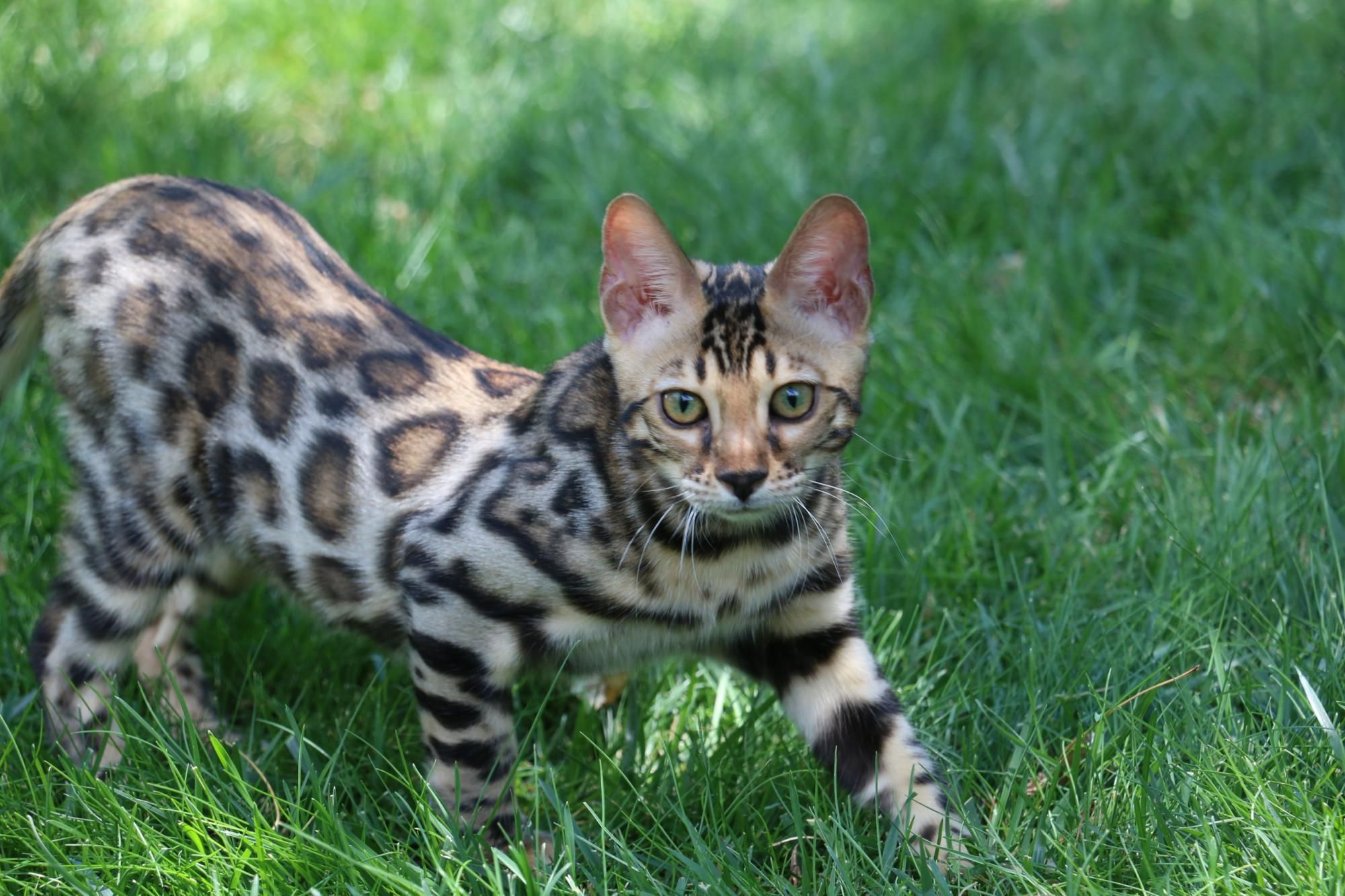 Bengal Cats For Sale Bengal Kittens Bengal For Sale Kittens For Sale Bengal Kittens Denver Co Bengal Cat Bengal Kitten Bengal Cat Facts