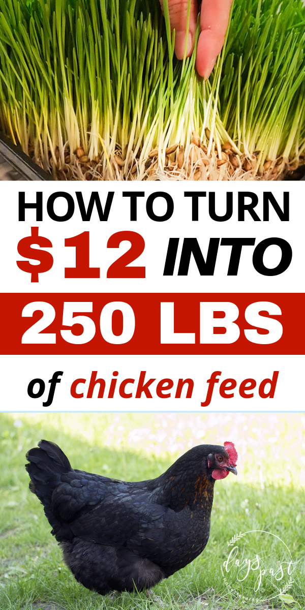 Are you looking to save money on chicken feed? Want to feed you chickens less grain and be more self sufficient? Check out my DIY fodder system and feed your chickens for pennies a day! A great alternative to bagged chicken feed for both layer and meat chickens!Are #you #looking #to #save #money #on #chicken #feed? #Want #to #feed #you #chickens #less #grain #and #be #more #self #sufficient? #Check #out #my #DIY #fodder #system #and #feed #your #chickens #for #pennies #a #day! #A #great #alterna