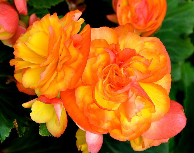 Yellow Orange Tuberous Begonias Tuberous Begonia Begonia Flower Identification