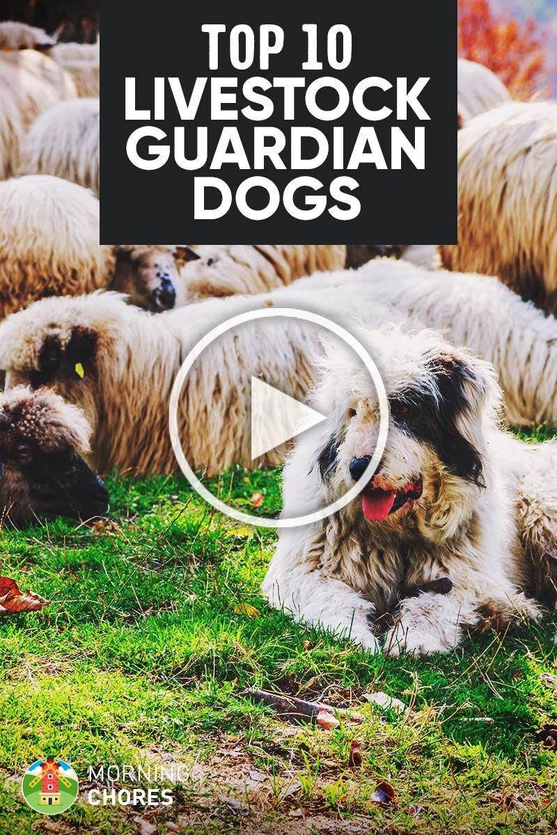 Photo of 10 Best Livestock Guardian Dog Breeds for Your Farm