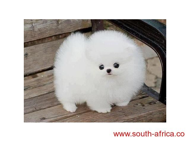 Teacup Pekingese Puppies For Sale South Africa Pomeranian Puppy