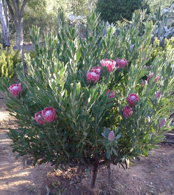 Protea Care Http Www Californiaprotea Org Protea Care Australian Garden Design Protea Plant Front Yard Plants