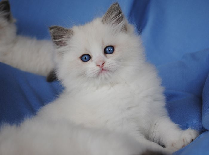 Available Ragdoll Kittens - Ragdolls kittens for sale - Ohio | Cats