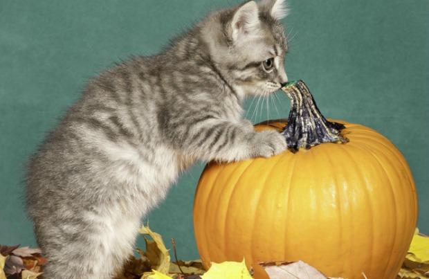 Pumpkin Treat Recipes For Your Cat Cat treats, Pumpkin