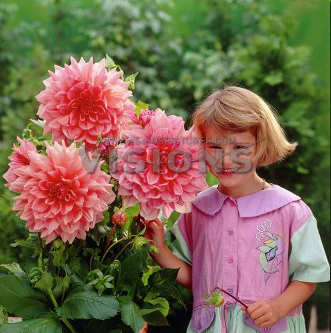 Pin By Kathryn Beeson On Dahlia Dream Flowers Perennials Flower Seeds Dahlia Flower
