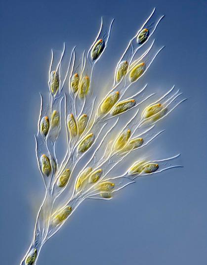 As Crisófitas também conhecida como algas douradas, são organismos unicelulares. Embora a maioria seja fotossintética, não são consideradas como verdadeiramente autotróficas uma vez que podem facultativamente se tornar heterotróficas na ausência de luz adequada.  Podem ser encontradas em ambiente terrestre, sobre solos e rochas úmidas. As Chrysophytas, apresentam como coloração predominante o amarelo, por isso serem conhecidas como algas douradas.