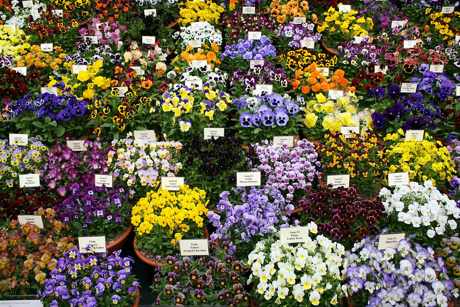 Flower power! World's prettiest flower festivals Chelsea