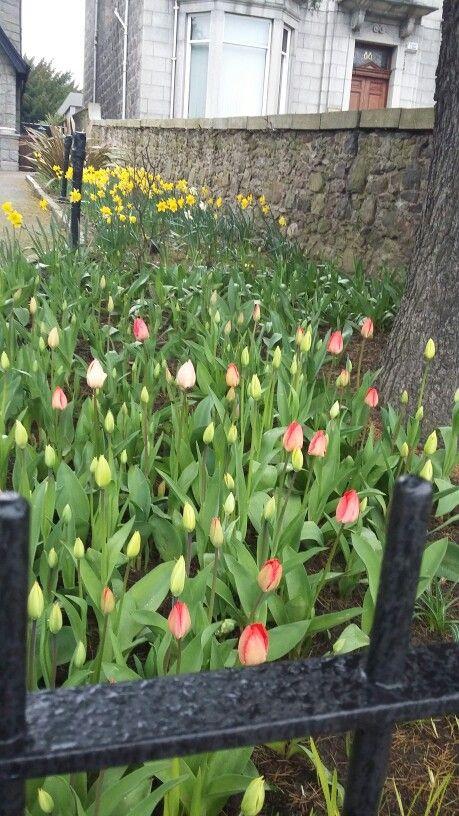 Aberdeen, Scotland. tulips under the rain