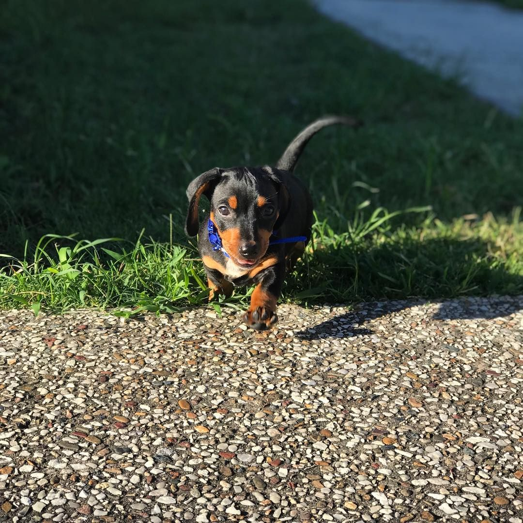 Dachshund Products Apparel And Gifts Cute Dachshunds Dogs