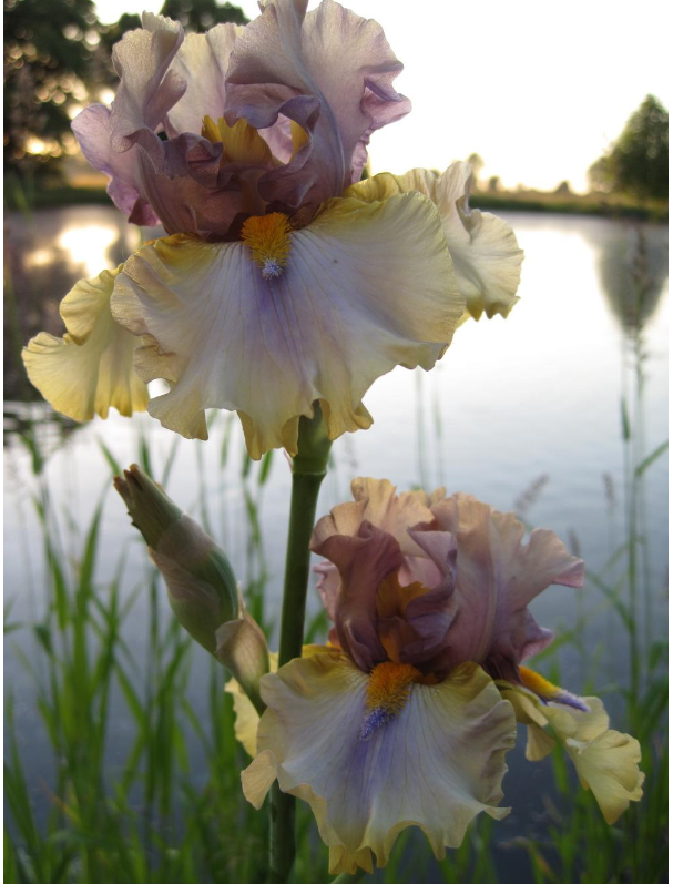 Iris Karibik Branches Et Boutons With Images Bearded Iris Plants Flowers