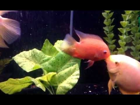 Red Gold Severum Mating Fight Video Fish Tank Decorations Beautiful Fish Red Gold
