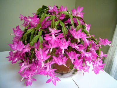 how to get a christmas cactus to bloom cactus care potting pinterest christmas cactus. Black Bedroom Furniture Sets. Home Design Ideas