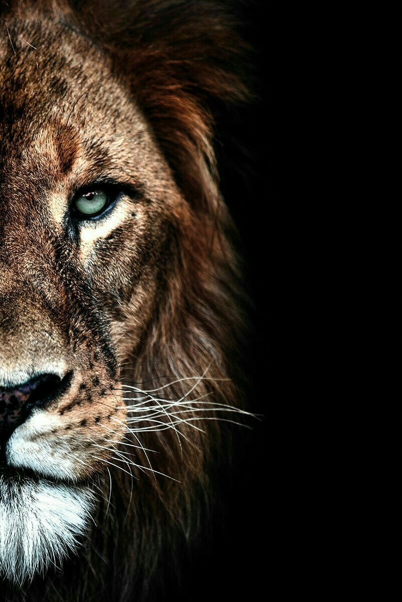 Pin By Marvellouslines On Wild Animal Wallpapers Lion Photography Lion Wallpaper Lion Wallpaper Iphone