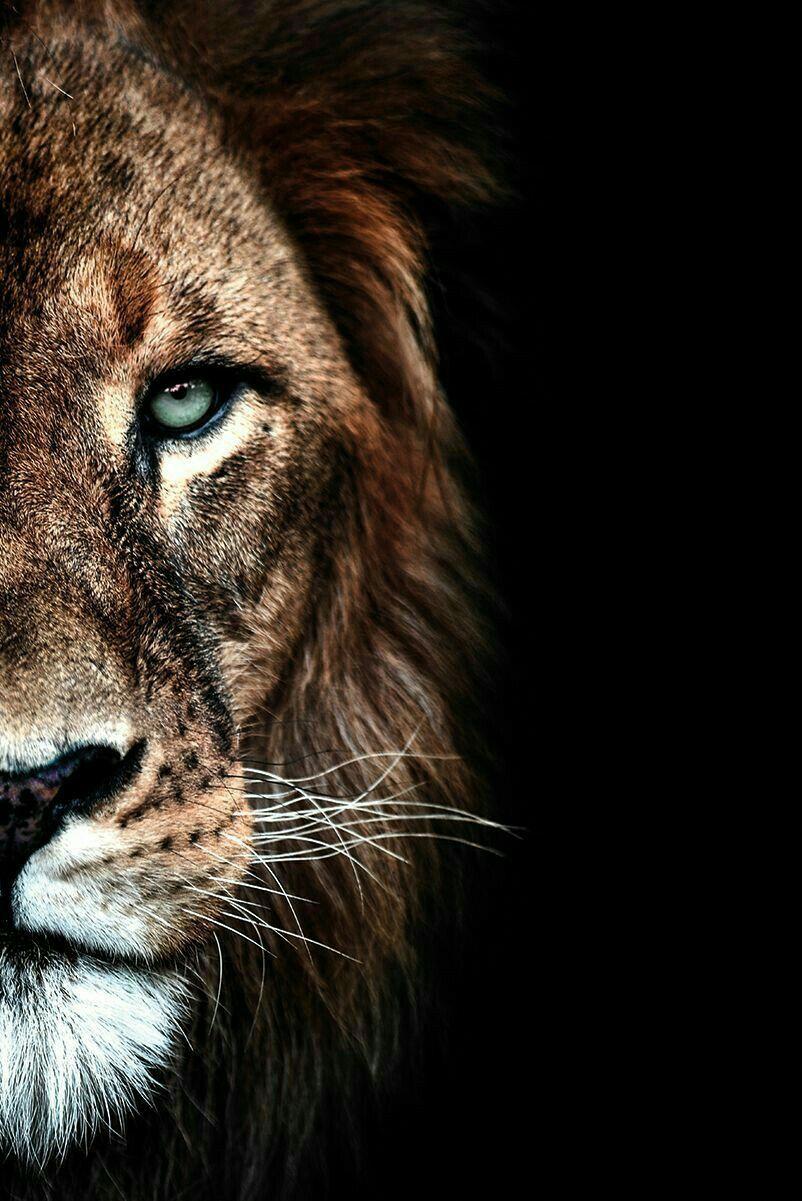 Pin De Marvellouslines Em Wild Animal Wallpapers Leao Papel De Parede Fotografia De Leao Desenho De Tatuagem De Leao