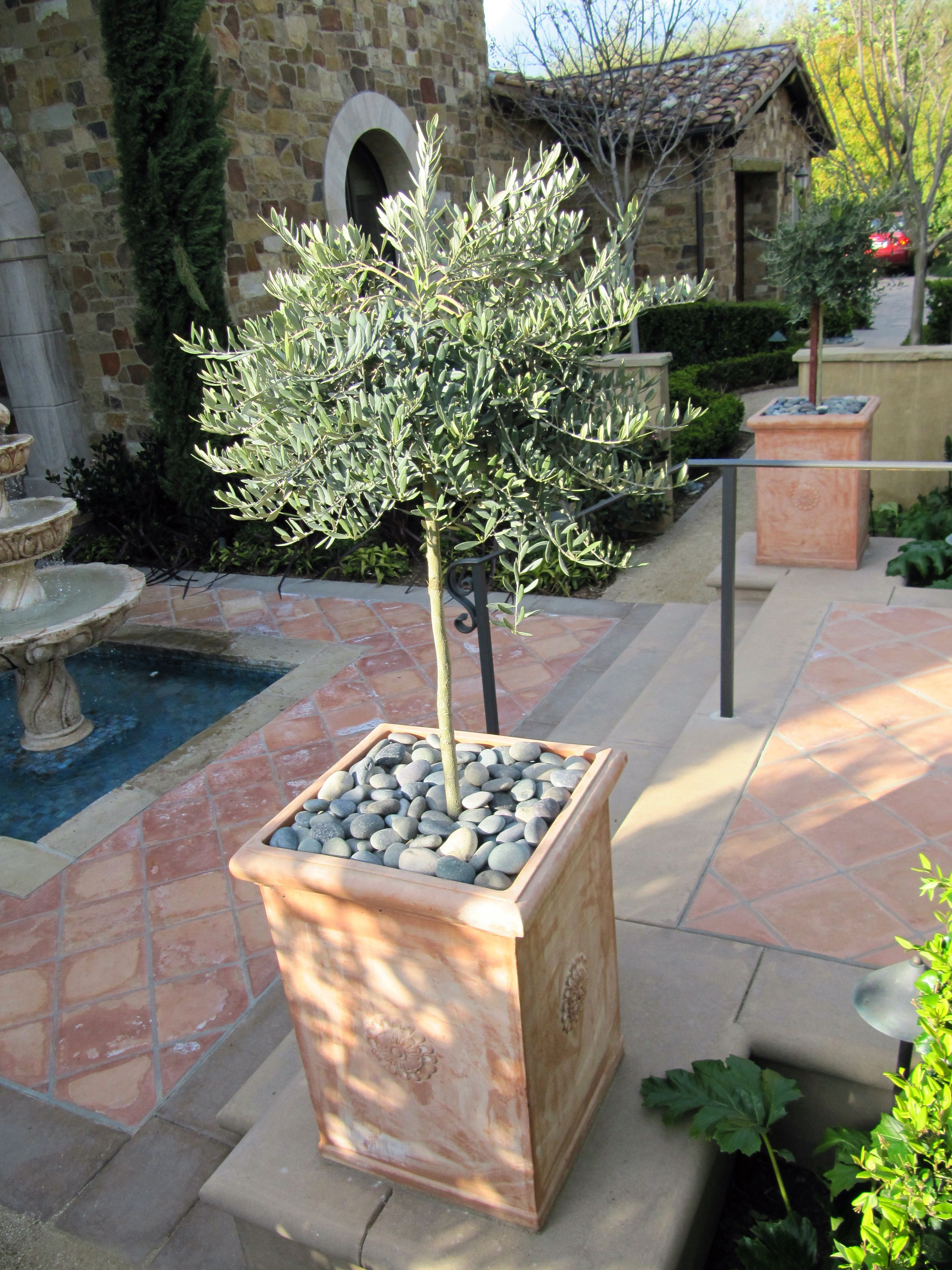 Pin By Jeanne Eige On Mcbain Landscape Potted Trees Potted Olive Tree Garden Pots