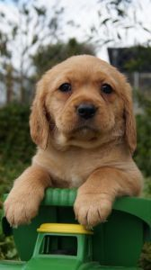 Why Pines Puppies is not a 'Pet Shop' | Banksia Park Puppies