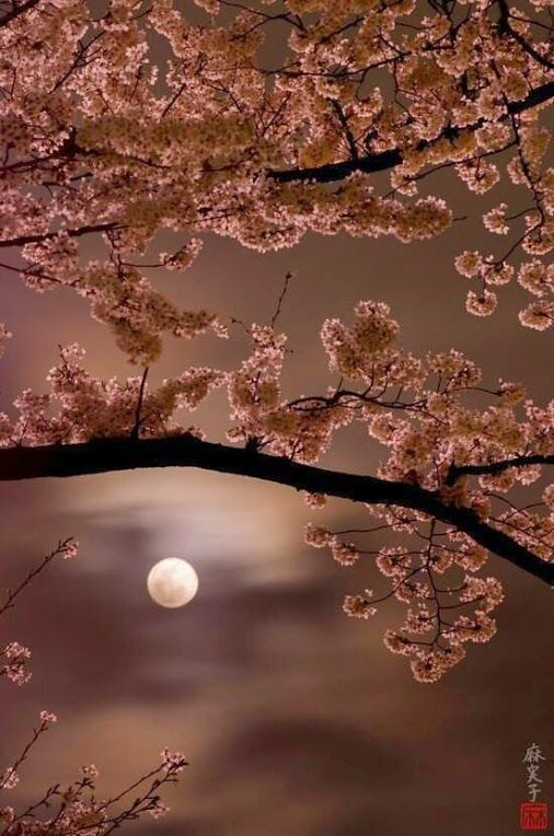 Stunning - a full moon framed by cherry blossoms...www.facebook.com/loveswish
