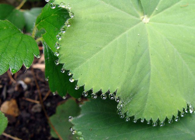 Guttation Is The Exudation Of Drops Of Sap Xylem On The Tips Or