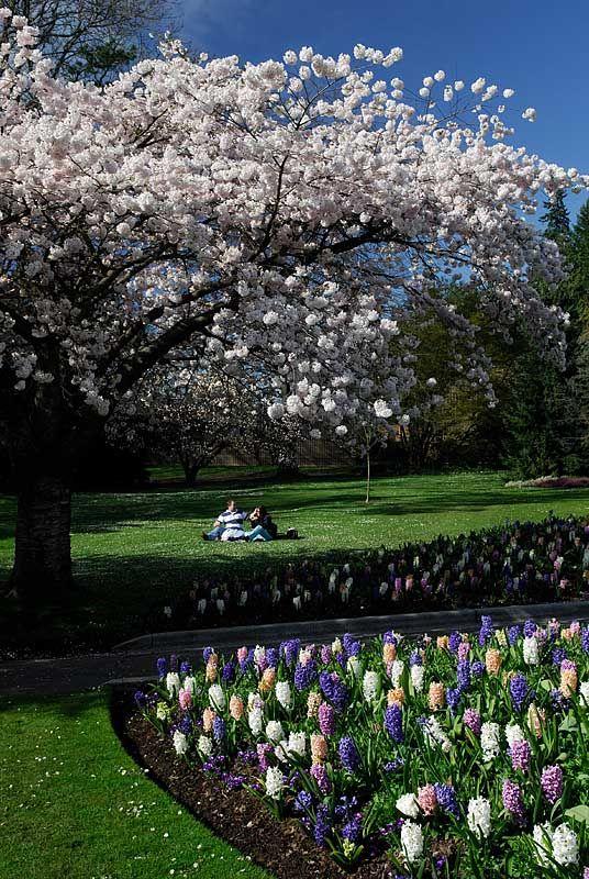 Stanley Park Annual Cherry Blossom Festival Vancouver British Columbia Copyright Alvin Brown Spring Landscape British Columbia Vancouver