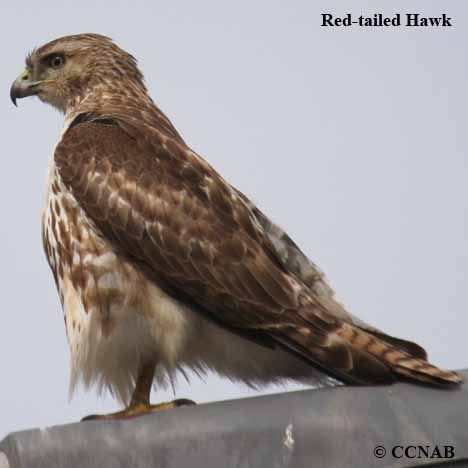 Pictures Of Birds Of North America Red Tailed Hawk 22 Jpg Red Tailed Hawk Birds Of Prey Birds