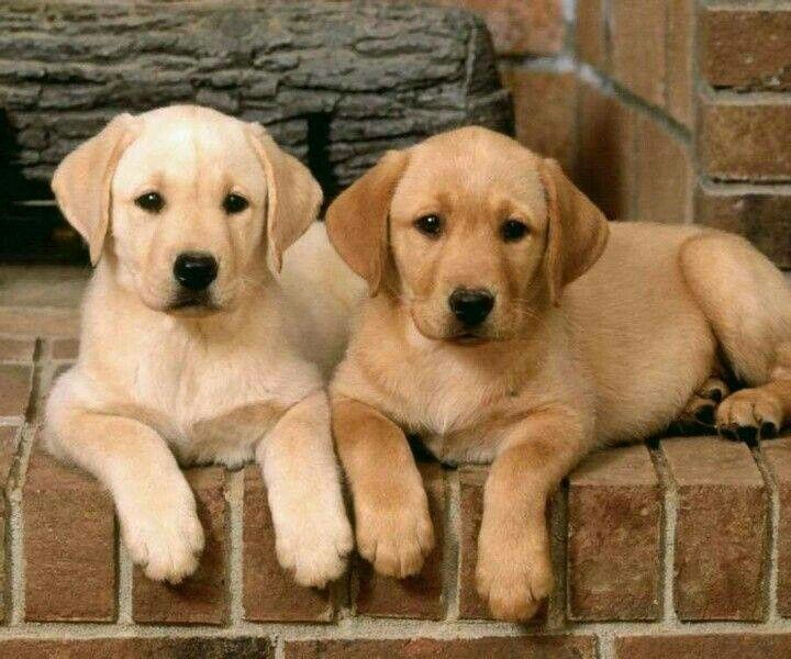 These two Yellow Lab pups know what they know and no one else knows it!!