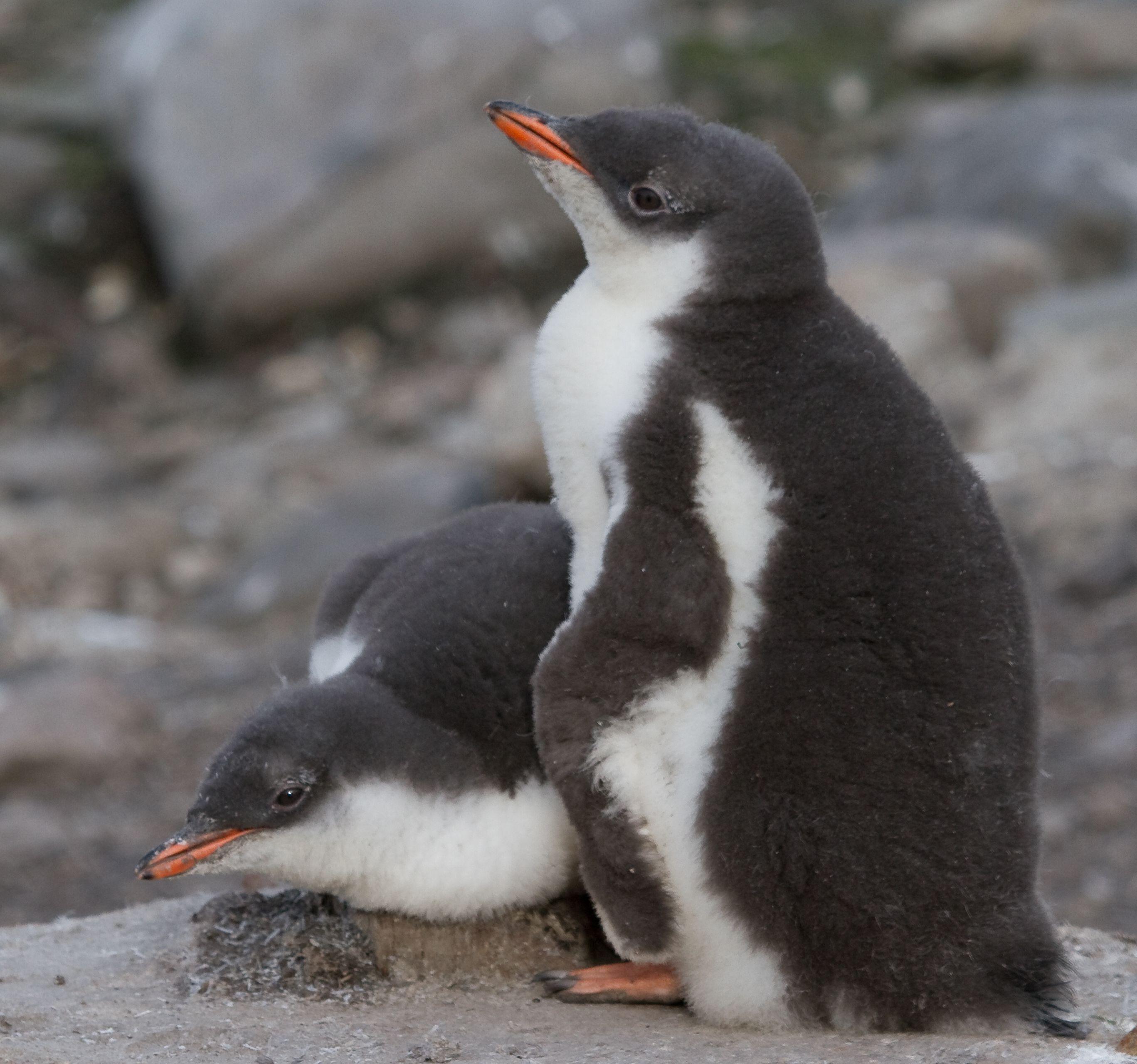 Cute Gentoo penguin chicks. (met afbeeldingen)   Baby ...