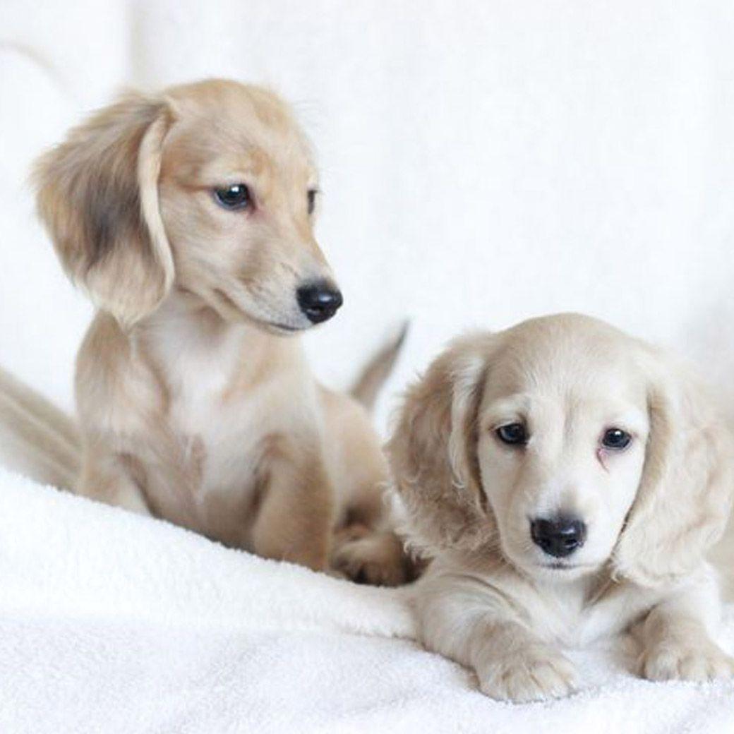 How Excellent Dachshund Dog Dachshund Puppies Dachshund Breed