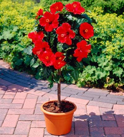 Red Tropical Hibiscus Tree For The Home Hibiscus Tree Flowering