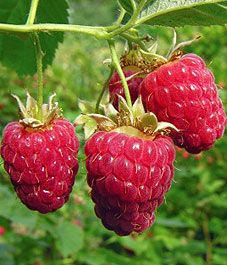 Tips on taking care of the raspberry bushes - good to know.
