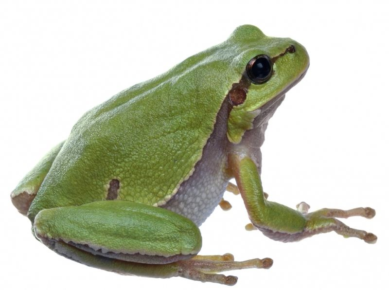 tree frog | Draw a Cute Tree Frog