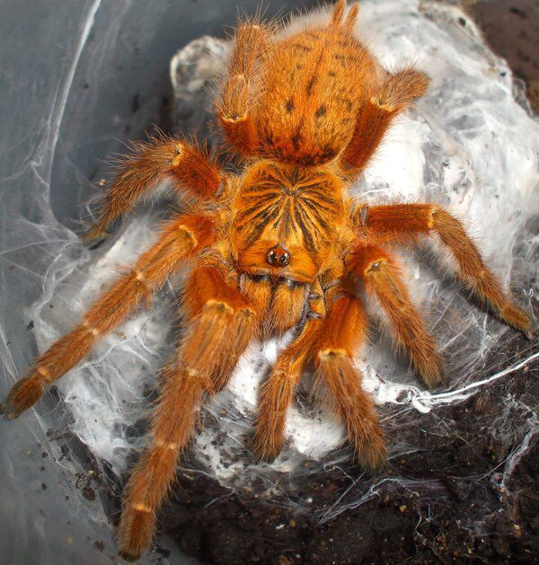 My Obt Orange Bitey Thing Baboon Tarantula Animais Coloridos