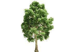 Rboles de crecimiento r pido para nuestro jard n for Arboles de crecimiento rapido para sombra