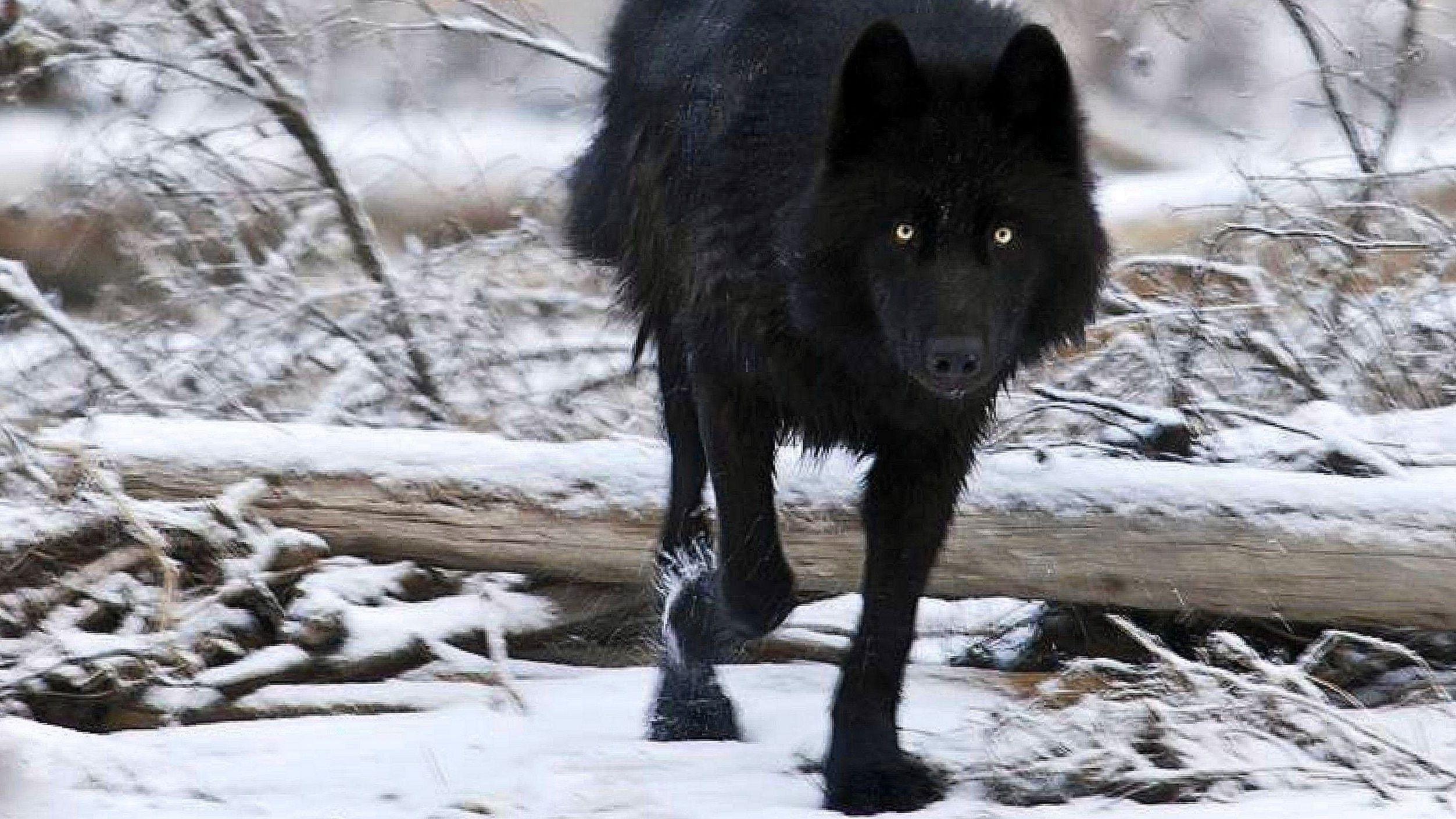 Black Wolf Wallpapers Ios Black Wolf Wallpapers Ios Black Wolf Wolf Wallpaper Wolf Black And White