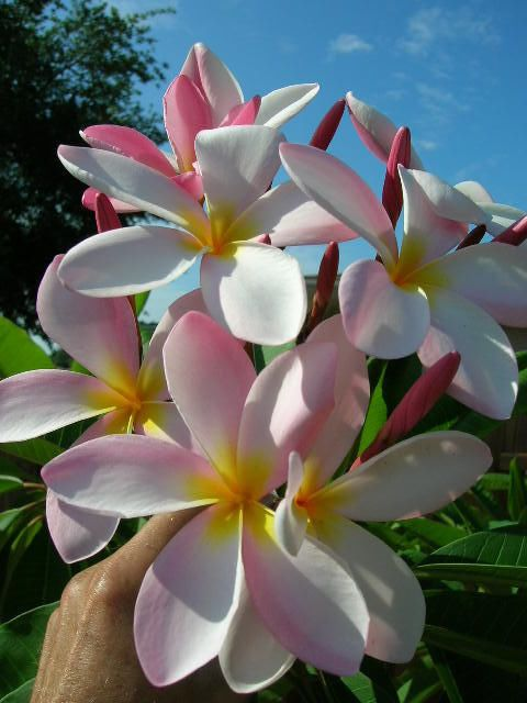 Pin On My Favourite Flower 3 Plumeria Frangipani