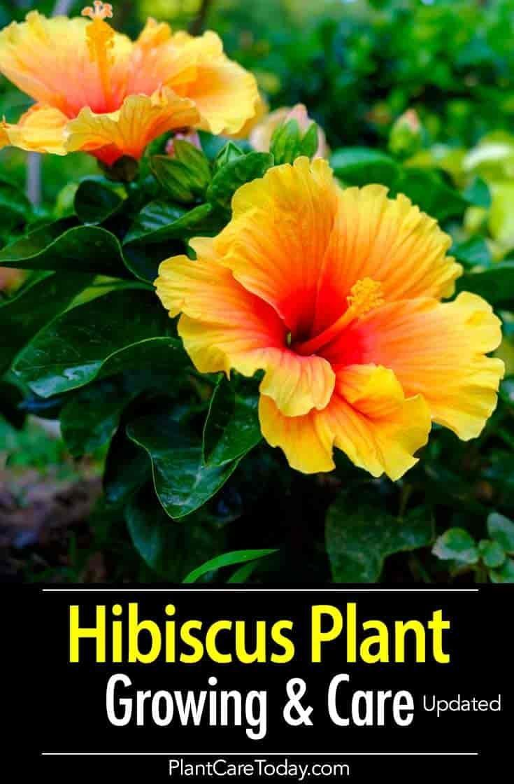 Growing The Colorful Hibiscus Plant Adds A Tropical Flavor To The Garden Proper Hibiscus Care Rewards You W Hibiscus Plant Hibiscus Tree Care Growing Hibiscus