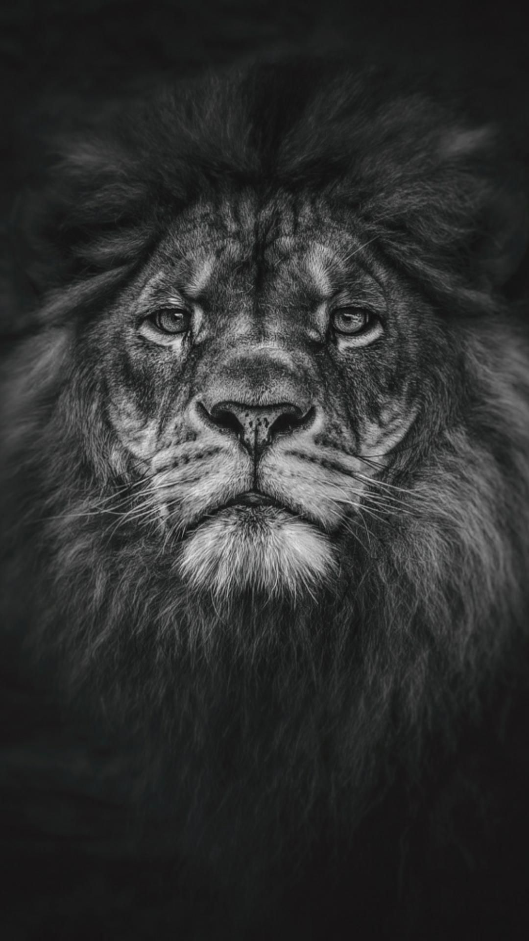Black Lion Wallpapers Hd Resolution For Iphone Wallpaper On Hupages Com If You Like It Dont Forget Save It Or Repin It Hav Lion Wallpaper World Lion Day Lion