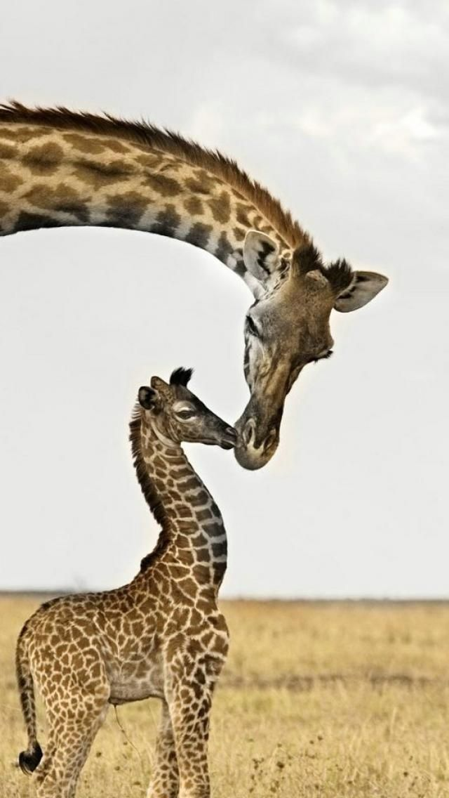 Baby Giraffe And Mother, Animal
